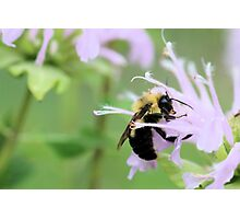 Bee Balm is well named Photographic Print
