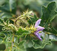 Solanum  - Full of Prickles by kalaryder
