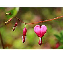 Bleeding Heart Photographic Print