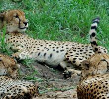 TAILS UP, OBSERVING! - CHEETAH – Acinonyx jabatus – Die Jagluiperd Sticker