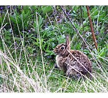 Eastern Cottontail in the Brush Photographic Print