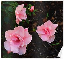 Azalea - Blushing Pink Poster