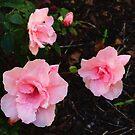 Azalea - Blushing Pink by Rasendyll
