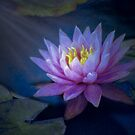 Lily in the moonlight by Celeste Mookherjee