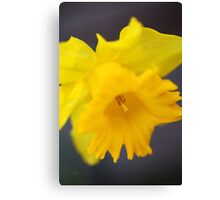 Daffodil Rich Canvas Print