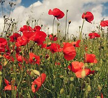 Poppyfield by Ursula Rodgers