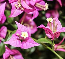 Pink Bougainvillea by lvcreation