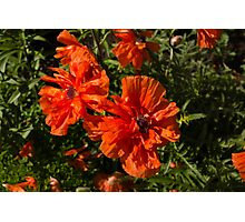 Ruffled by the Wind - Silky Scarlet Poppies Bringing Summer Joy Photographic Print