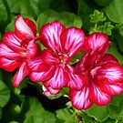 Three Ivy Geraniums by WildestArt