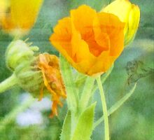 wild poppy by vigor
