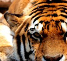 bored tiger Sticker