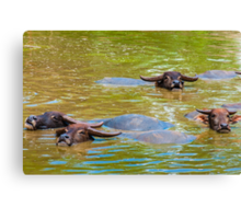 Herd of Thai buffalo cooling in during the day Canvas Print