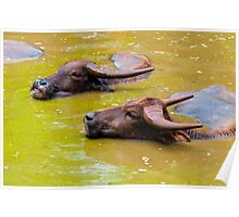 Herd of Thai buffalo cooling in during the day Poster