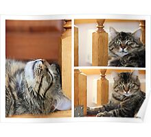 big striped cat or kitten indoors. photo Poster