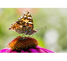 Painted Lady Butterfly V Photographic Print