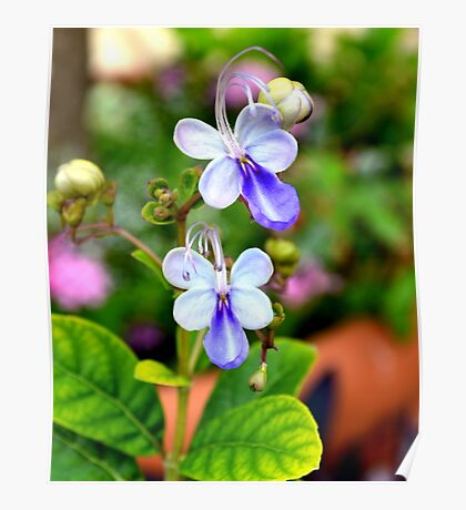 Blue Butterfly Plant Poster