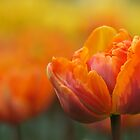 Orange tulip by Lindie
