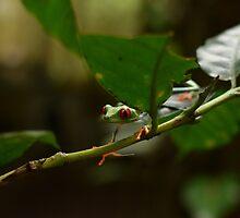 Red Eye Tree Frog by MissMargaret