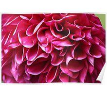 Fuchsia Ruffle Petals Poster