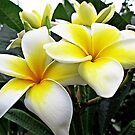 Frangipani © by Ethna Gillespie