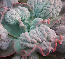 "Echeveria Gibbiflora (a ""Unique"" Type!) by Jesi Marie Timpe"