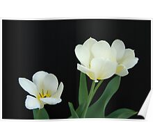 Three White Tulips Poster