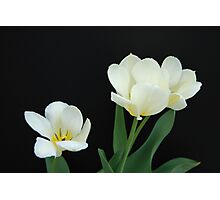 Three White Tulips Photographic Print