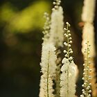 Black Cohosh by Linda  Makiej Photography