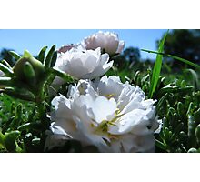 MOSS ROSE FROM A BUG'S EYE VIEW Photographic Print