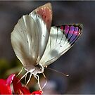 BUTTERFLY SERIES - _Queen Purple Tip Colotis regina_ by Magriet Meintjes
