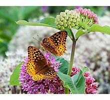 Great Spangled Fritillary Butterflies Photographic Print