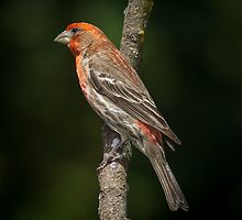 House Finch by RandyHume