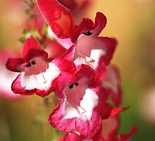 Penstemon Flowers by Joy Watson