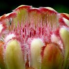 Protea Closeup by Marilyn Harris