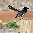 Willy Wagtail in the Park by Sandra Chung