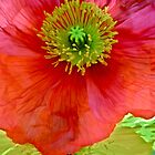 """""""Red and Yellow Poppies"""" by AlexandraZloto"""