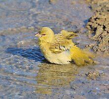 Masked Weaver - African Wild Birds - Happy Days by LivingWild
