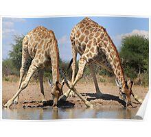 Giraffe - African Wildlife Background - Splitting for Sips Poster