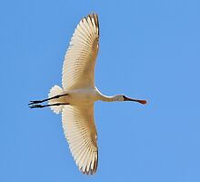 Spoonbill Stork - Flying High - African Wild Birds by LivingWild