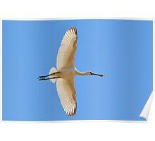 Spoonbill Stork - Flying High - African Wild Birds Poster