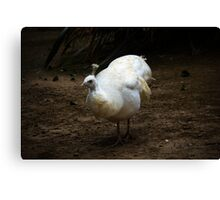Disgruntled peahen Canvas Print
