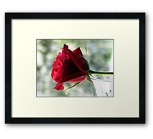 A Rainy Day Rose Framed Print
