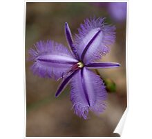 Fringed Lily Poster