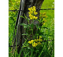 Yellow Pea Photographic Print