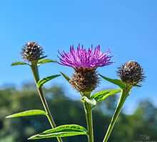 Thistle by Stevie B