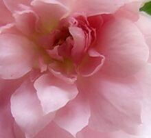 Mayflower Rose Sticker