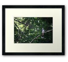 bluejay perched on a tree branch dark green background Framed Print