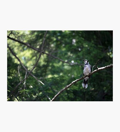 bluejay perched on a tree branch dark green background Photographic Print