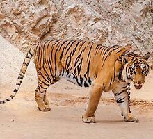 Beautiful specimen of Bengal tiger  by Stanciuc