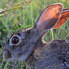 A Scrub Hare in daylight! by jozi1